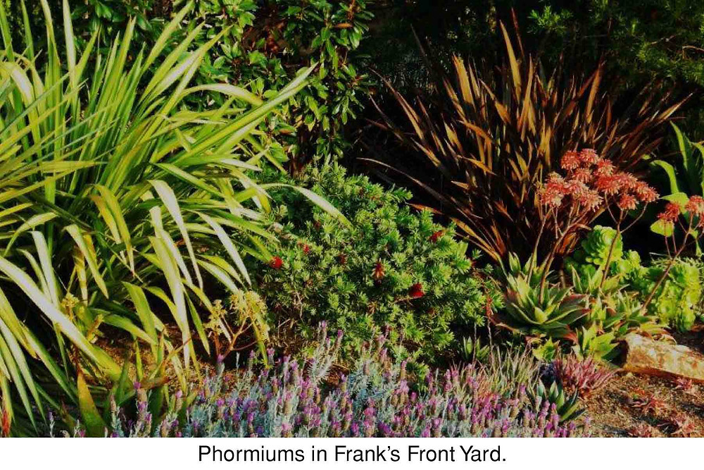 Phormiums in Frank's Front Yard.