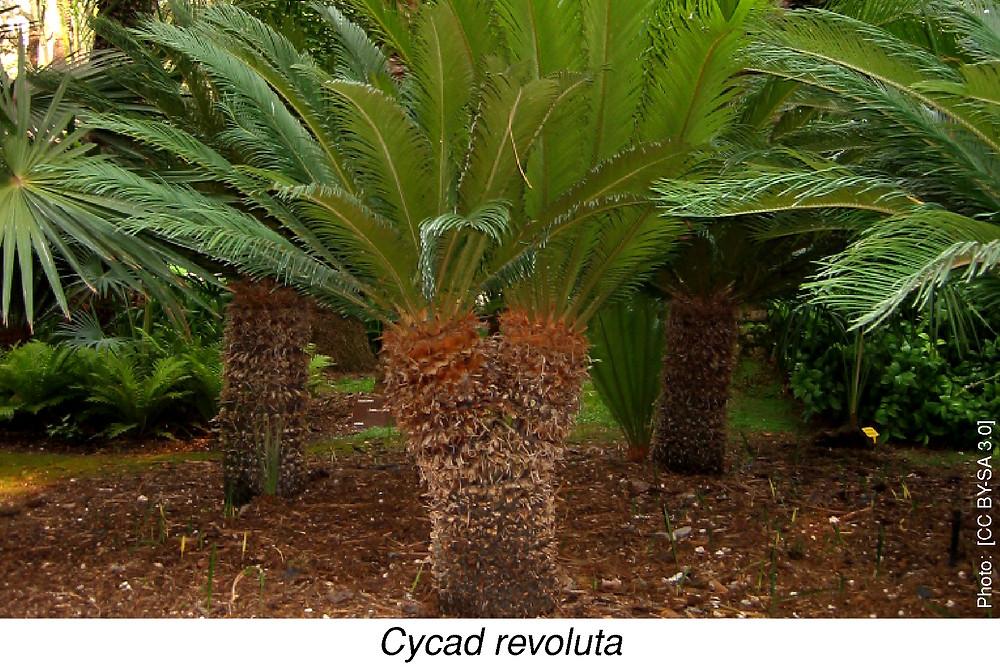Cycad revoluta  [CC BY-SA 3.0]