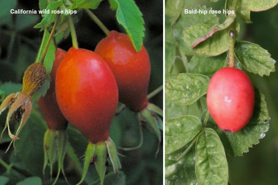 [RACHEL: Perhaps we can place these two images of the hips side by side after cropping down the bald-rose hip image? The text (both paragraphs following this first image) can go after the images. Thanks!!] California wild rose hips grow naturally along the banks of streams and rivers.