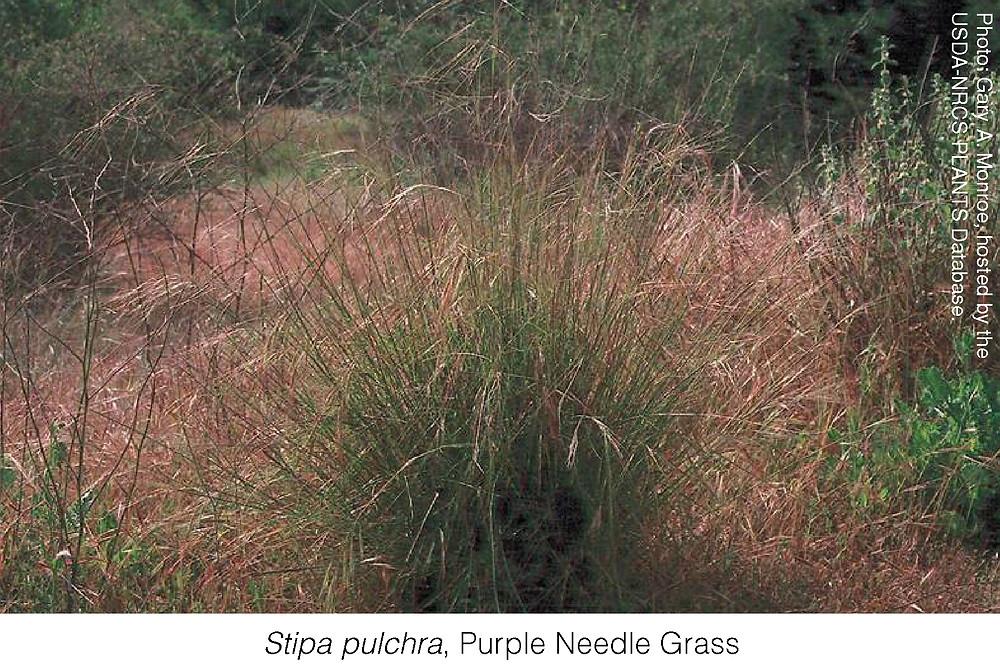 Rachel pls italicize the latin name:  Stipa pulchra, Purple Needle Grass.  Photo attirbution: Gary A. Monroe, hosted by the USDA-NRCS PLANTS Database.