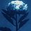 Thumbnail: La douceur d'un pétale //  Original Cyanotype