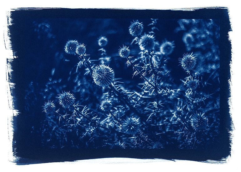 """ Chardon "" Cyanotype on Arches Platine Paper."