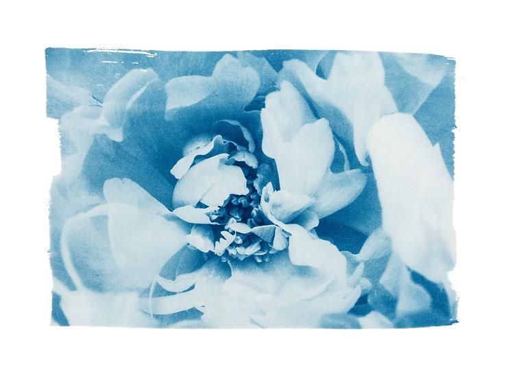 Love has bloomed //  Original Cyanotype
