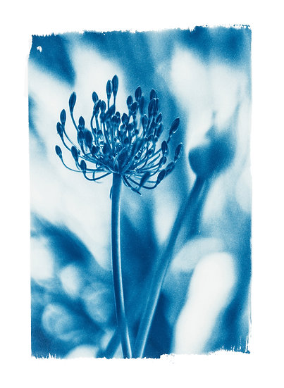 Le jardin de Monet //  Original Cyanotype