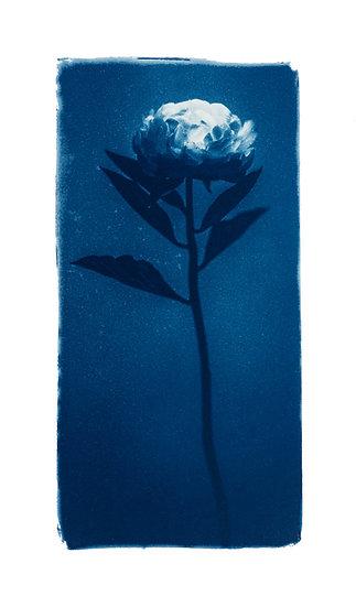 La douceur d'un pétale //  Original Cyanotype