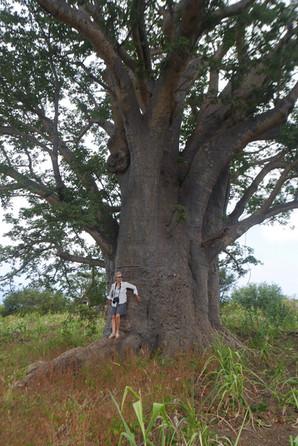 Baobab, Cap Vert