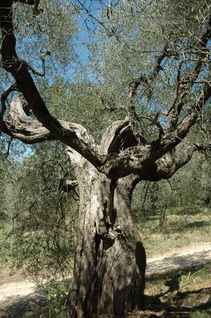 Olivier, Sartène, Corse