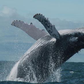 Ballenas jorobadas en riesgo extremo