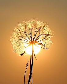 dandelion-1557110_960_720.jpg