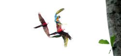Free Flight Macaws