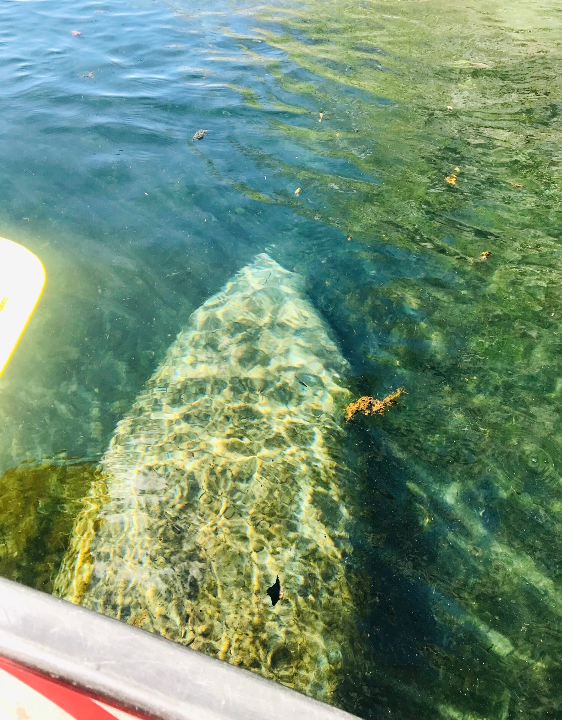Manatees are also known as a sea cow