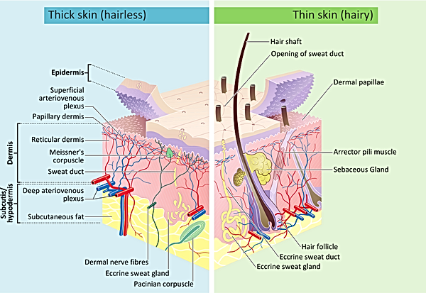 Skin_layers.-wikimedia-commons-svg.png