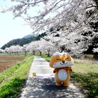 桜並木を歩くふたまたぎつね.jpg
