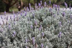 bush lavender