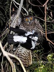 Powerful Owl Kills Magpie