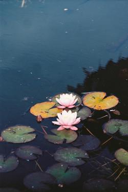 Water Lilies #1 - Powerscourt Gardens, Co. Wicklow