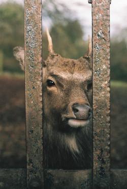 Fallow Deer - Jenkinstown Woods, County Kilkenny