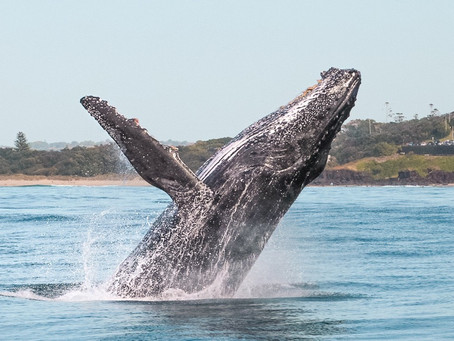 Whale Watching with Out of the Blue Adventures