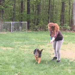 Gemma has mastered the _place_ command! A gorgeous 4 month old #GSD imported from VA Bloodlines