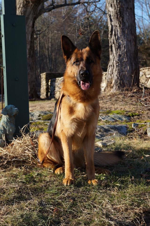 German Shepherd Dog Breeder | New Hampsir | Olympia Kennels