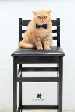 gato exótico na cadeira