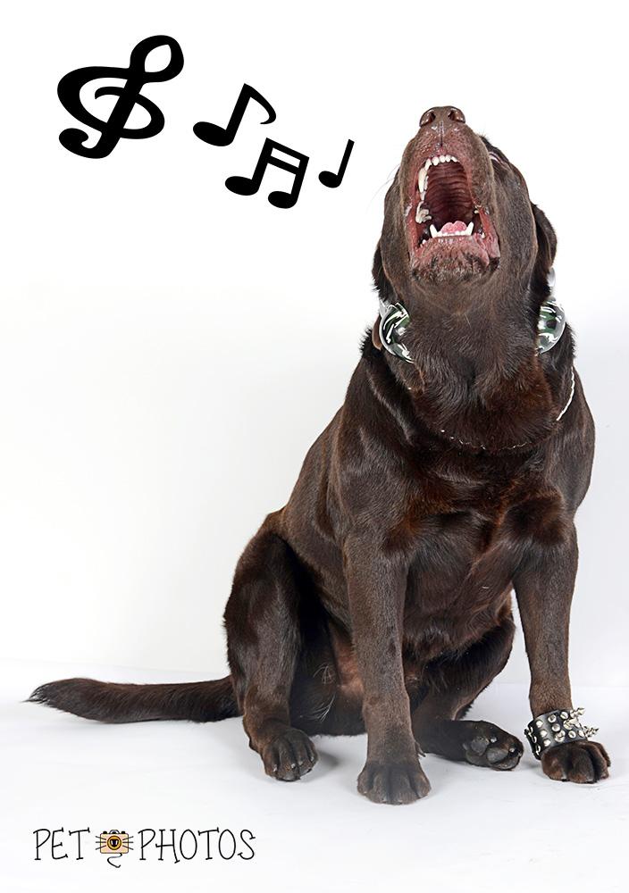 Labrador cantando