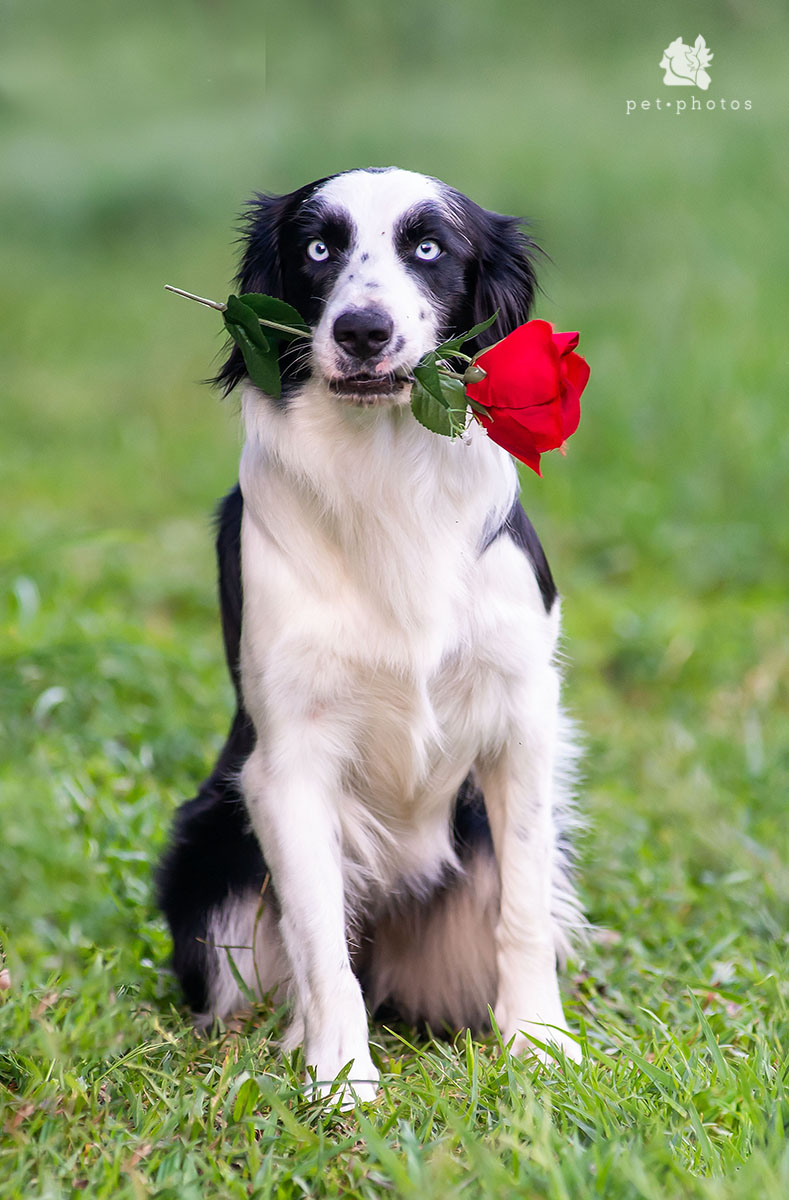 border_collie_8988