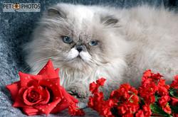 Gato persa cinza e flores vermelhas
