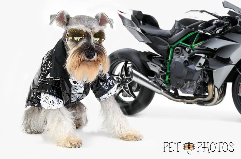 schnauzer motoqueiro