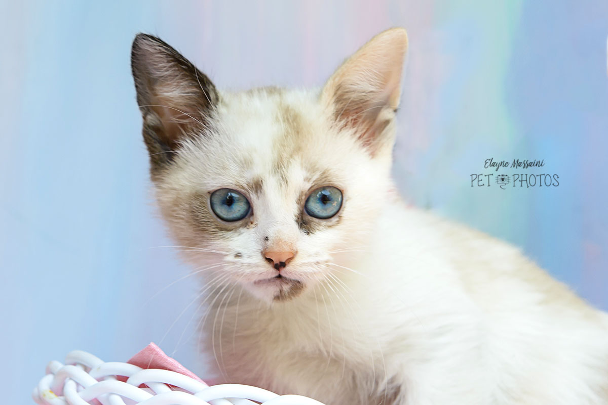 gatinho filhote de olhos azuis
