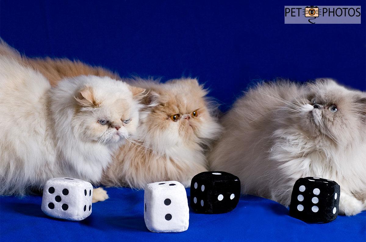 3 gatos persas com dados