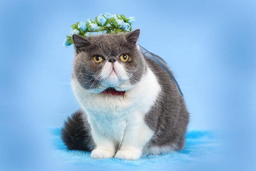 foto de gato em estudio
