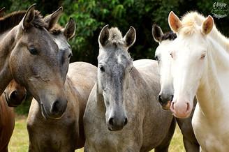 cavalos lusitanos