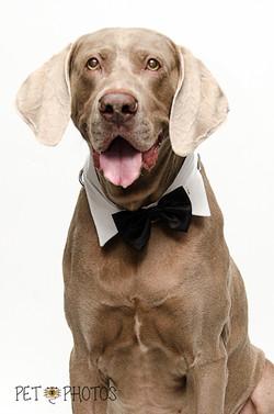 Weimaraner de gravata