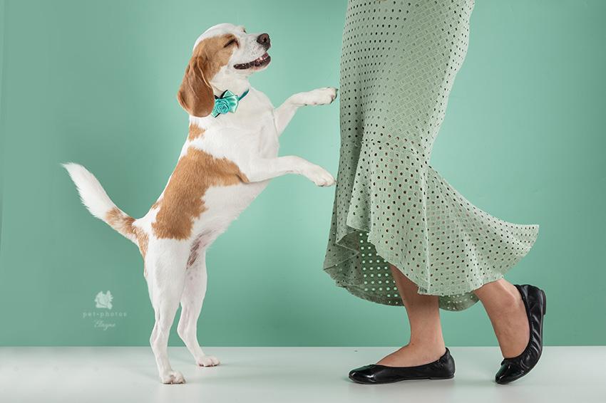 beagle dançando
