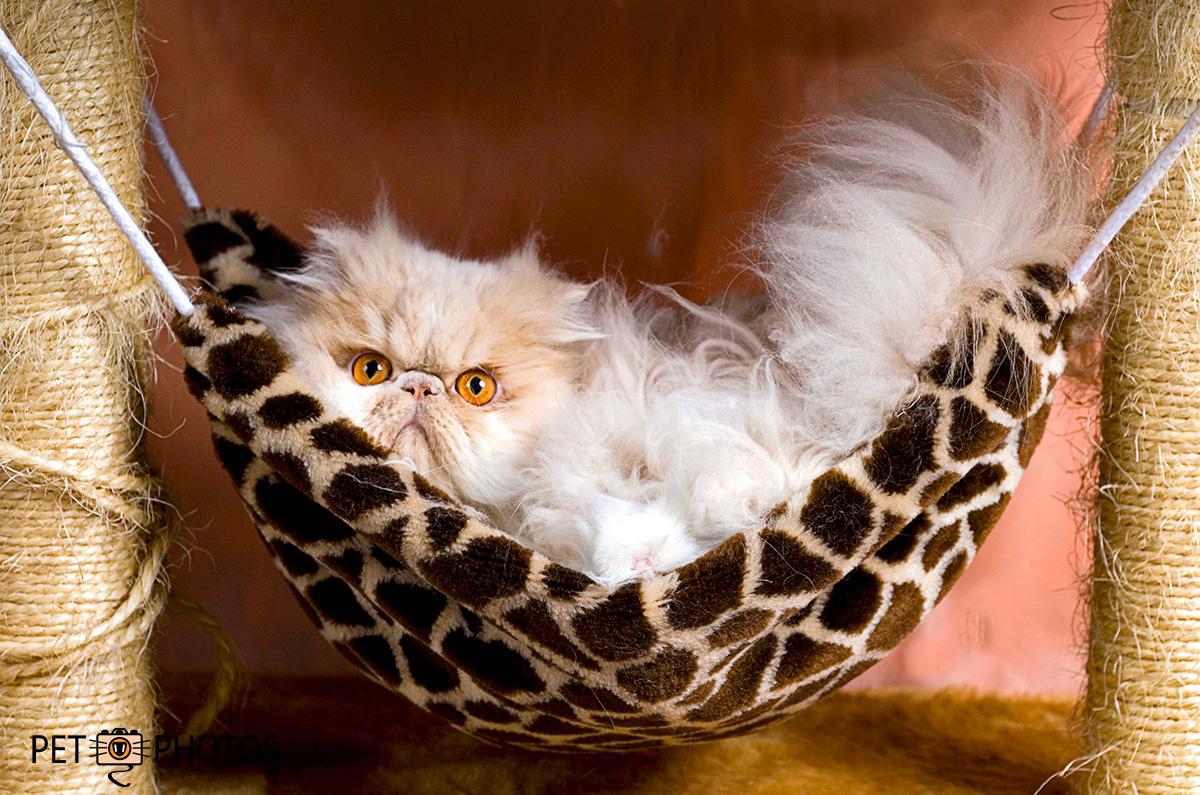 Gato persa deitado em rede