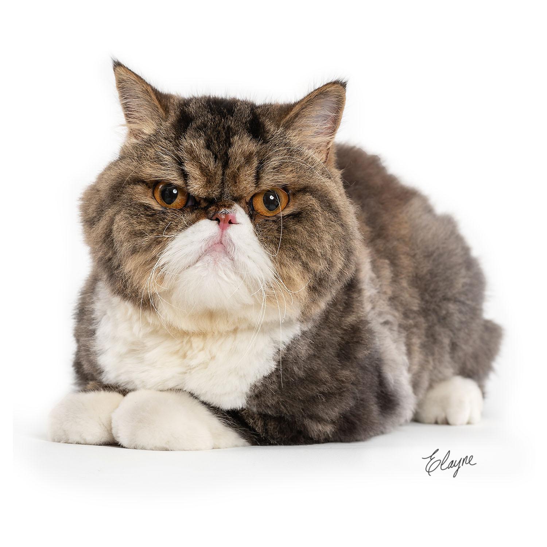 mimi gato persa