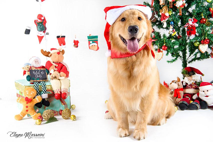 foto cachorro golden natal