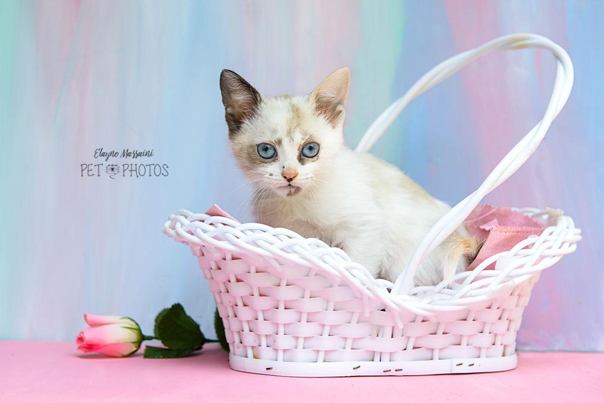 gatinha branco em cestinho