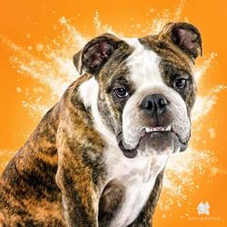 foto de cachorro bulldog ingles