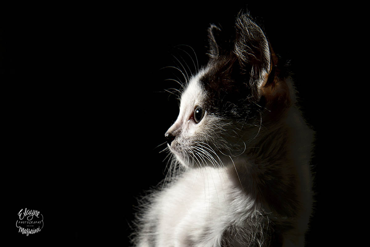 Gato filhote em fundo escuro