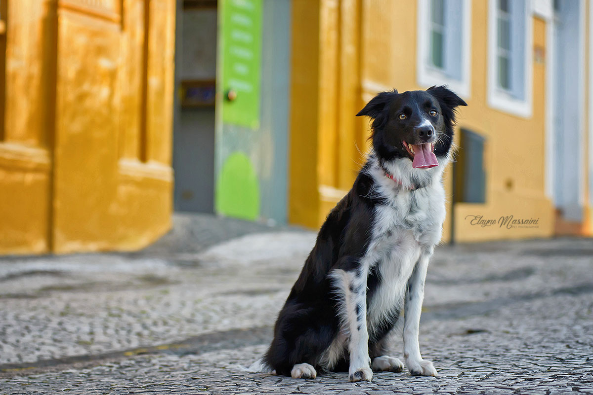 foto de cachorro border collie