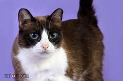 Gato de olho azul