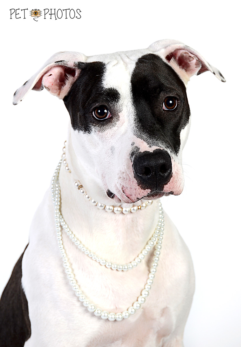 Pitbull linda