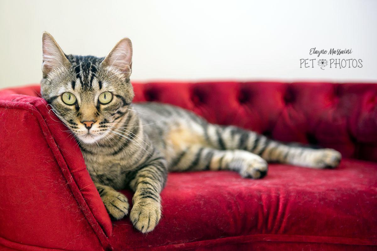 Gato tigrado no sofa