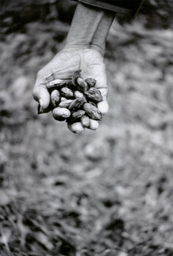Pecans in my fathers hand - Anniston, Alabama