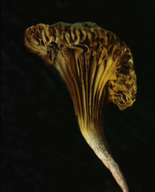 Like Coral (Mushroom 5)