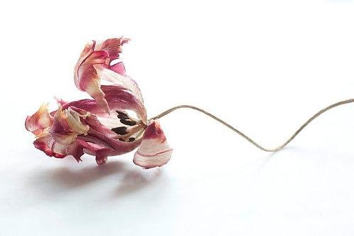 To Fade (Tulip 2)
