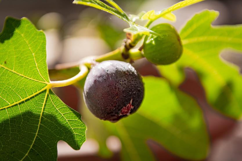 21.                        On the Fig Tree