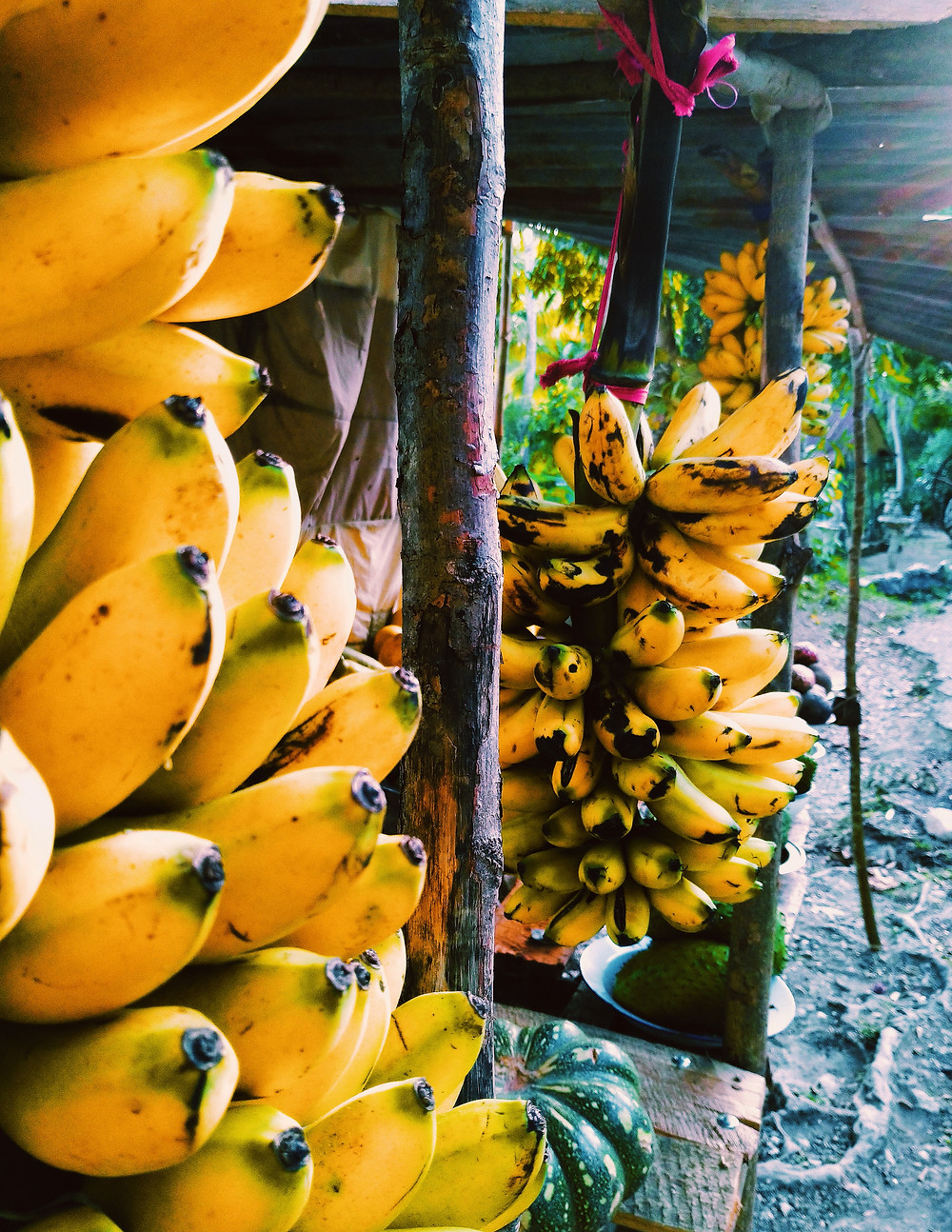 BANANAS are part of Haiti's diversified farming culture.